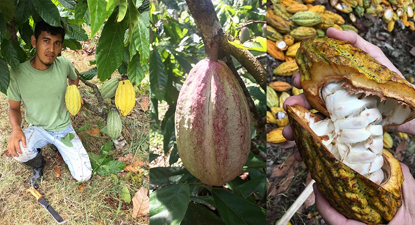 - - Christian harvesting cocoa.